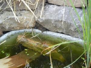 ropucha v žabníku